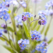 Myosotis in Blue