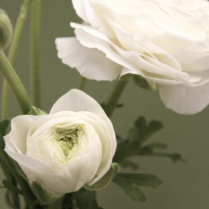 Ranunculus in White